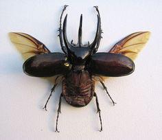 Chalcosoma atlas, besouro voador com chifres.