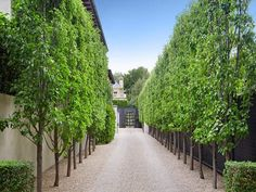 Agatha O l Manchurian Pear lined driveway - for around front fence garden with white hydrangeas underneath?