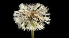 Dandelion flower and clock blowing away time lapse - doesn't show expired flower opening into seedlings.