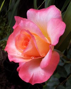 ~Hybrid Tea Rose 'Summer of Love'