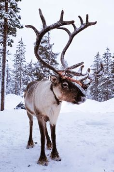 Are you planning a trip to winter wonderland? Keep reading to find the best things to do and a travel guide to Lapland, Finland. Hirsch Tattoo Frau, Santa Claus Village, December Wallpaper, Meet Santa, Lapland Finland, See The Northern Lights, Cozy Christmas, Christmas Puppy, Christmas Aesthetic