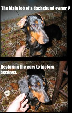 Hahaha!  We use to have a dog that was half dachshund, half cocker spaniel.  I remember that we occasionally had to do this!