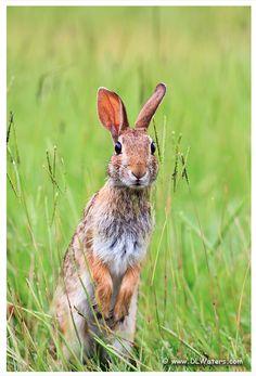 bunny jumping on the meerkat bandwagon