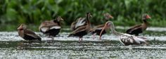 White Ibis with black- bellied Whistling Ducks.