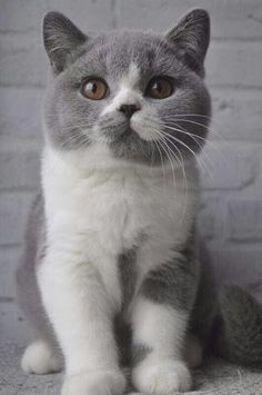 Bacardi Million Reasons*PL - for sale Bri a 03 , male (gen ticked) Blood type A or Ab , not carry LH Date of Brith: Cute Cats And Kittens, Baby Cats, Kittens Cutest, Pretty Cats, Beautiful Cats, Chat British Shorthair, American Shorthair, Exotic Shorthair, Cute Baby Animals