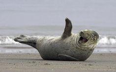 Happy-walrus