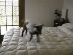This goat who can't believe he gets to spend his day jumping on this bed and not having responsibilities. | 23 Goats Who Cannot Believe They're Really Goats
