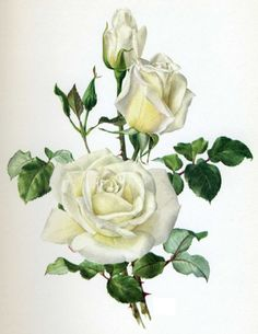 White Rose Image Before