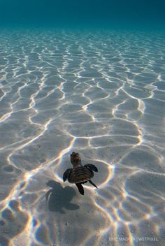 "Eric Madeja - Newly hatched Hawsbill Turtle (*Eretmochelys imbricata*) heading towards the open sea and to what is known as the ""lost years"". Sea Turtle Wallpaper, Animal Wallpaper, Baby Animals Pictures, Cute Animal Pictures, Cute Baby Turtles, Turtle Baby, Turtle Love, Cute Little Animals, Tier Fotos"