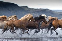 Icelandic Horses (by Tina Thuell)