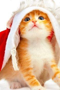 Christmas cat       kitty