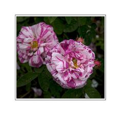 11 Shade Tolerant Roses: Tricolore de Flandre