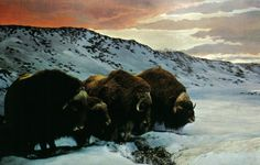 Musk Ox, Nunavut... I would LOVE to go hunting in Nunavut!! What a challenge that'd be
