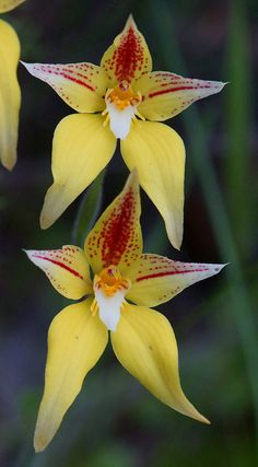 Cowslip Orchids, Caladenia flava.  Photo Credit: Flickr user, ron_n_beth