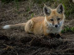 Baby Foxes - Famous Amos Photography