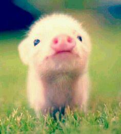 Baby piglet ***