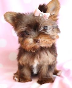 Chocolate Yorkie-- holy cow she is beyond adorable!!!!!!!!!!