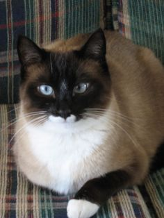 Snowshoe Cat - such pretty blue eyes