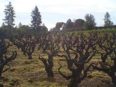 Vineyard 1869 - America's Oldest Documented Vineyard- 140+ year old vines.