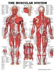 diy frame human anatomy muscles system art posters and print home, Muscles
