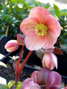 An exciting new cultivar from The Helleborus Gold Collection, hybridized by German plantsman, Josef Heuger, 'Pink Frost' is esteemed for its captivating floriferous display and its robust versatile bearing. A multicolored effect is created as a legion of burgundy buds unfurl antique-toned pink petals, which encompass blonde clustered stamens, and eventually mature to a deeper rosy red.