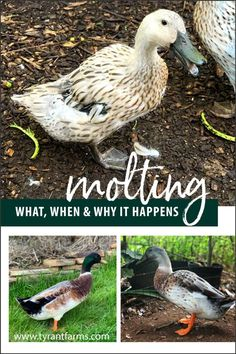 Raising Quail, Raising Ducks, Raising Chickens, Backyard Ducks, Chickens Backyard, Duckling Care, Duck Species, Duck Breeds