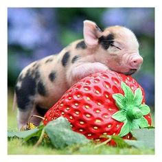 Cute Baby Pig Full Square Drill Diamond Painting 12