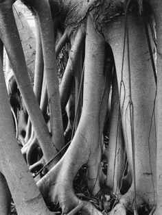Tree Roots Photographic Print by Brett Weston at Art.com