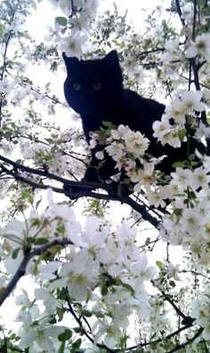 Goodmorning Black cat in white dogwood tree! So beautiful. Incensewoman
