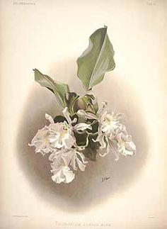 59396 Trichopilia suavis Lindl. & Paxton var. alba / Sander, F., Reichenbachia: Orchids illustrated and described, vol. 1: t. 31 (1888) [H.G. Moon]