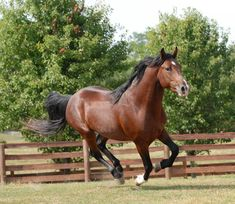 Classic Farm ... Breeders and Trainers of Top Quality Mountain Horses - What's Up Dock