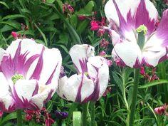 Tulip stripes.