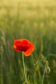 red poppy - Google Search