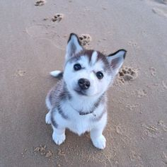 #throwbackthursday of our beautiful puppy Dakota. #puppy #husky