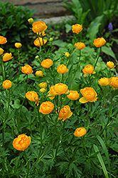 Click to view full-size photo of Orange Globe Globeflower (Trollius x cultorum 'Orange Globe') at Millcreek Nursery Ltd