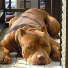 Red nose Pit! I see the beauty, do u?