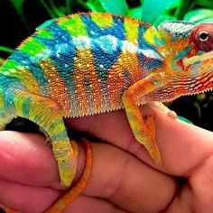 Mack snow leopard geckos for sale online. Buy baby Mack super snow leopard gecko for sale cheap. Our Mack snow leopard gecko price is the best near me. Leopard Gecko Habitat, Leopard Gecko Morphs, Leopard Geckos, Baby Leopard, Reptiles, Lizards, Chameleon Terrarium, Chameleons For Sale