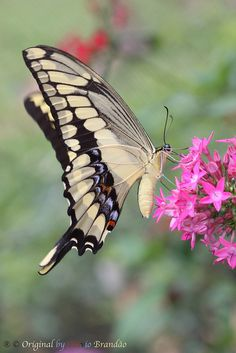 Heraclides thoas brasiliensis or Papilio thoas brasiliensis butterfly