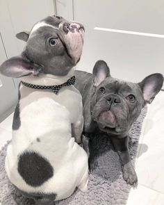"Learn additional info on ""French bulldog puppies"". Check out our web site. Cute Puppies, Cute Dogs, Dogs And Puppies, Dogs Pitbull, Terrier Puppies, Corgi Puppies, Doggies, Boston Terrier, Cute Baby Animals"