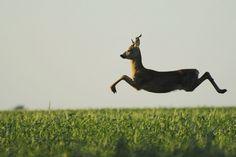 Un corzo europeo captado en la mitad de un salto.