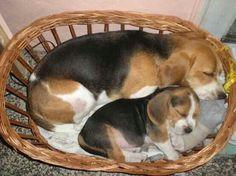 Beagles sleeping