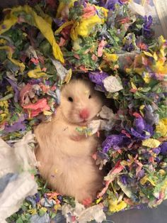 This sub is dedicated to hamsters and their humans. Baby Hamster, Hamster Cages, Cute Little Animals, Cute Funny Animals, Fluffy Animals, Animals And Pets, Funny Hamsters, Syrian Hamster, Cute Rats
