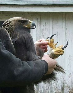The golden eagle. Trained by Mongolians to hunt wolves. Eagles are definitely the king of birds.