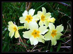 Irish Wildflowers III: Primrose