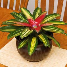 Blushing Bromeliad ~ Although small purple flowers form in the center of blushing bromeliad's vase, the variegated foliage is the star attraction and source of its common name. Leaves have saw-tooth edges, so take care when handling the plant. Water the central vase rather than the soil.