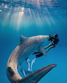Explore the ocean - marine life - A shark and a female diver, Under The Water, Pesca Sub, Shark Pictures, Shark Diving, Scuba Diving, Whale Sharks, Cage Diving With Sharks, Whales, Shark Swimming
