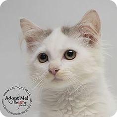 Simon - URGENT - Miami County Animal Shelter in Troy, Ohio - Male KITTEN Domestic Mediumhair