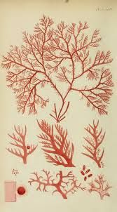 coral drawings - Cerca con Google