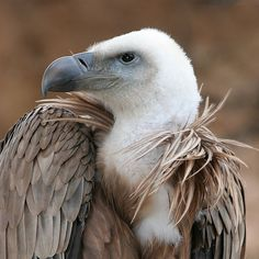 Griffon Vulture, Gyps fulvus  -  Europe and Asia
