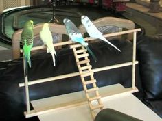 Budgies Performing, Unbelievably Cute! - http://www.parrotshop.org/budgies-performing-unbelievably-cute/